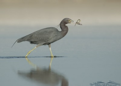 Little Blue Heron walking with pipefish, Fort De Soto County Park, Pinellas County, Florida
