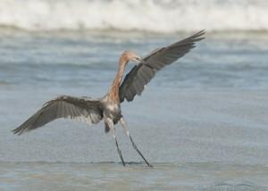 Surf dancing Reddish Egret dark morph