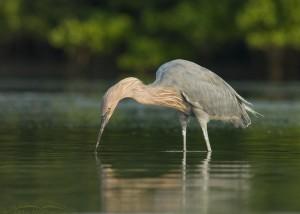Reddish Egret near the mangroves