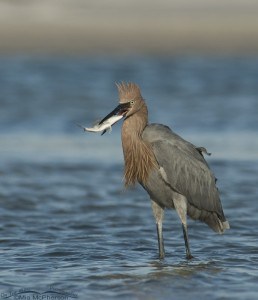 Reddish Egret with the catch of the day