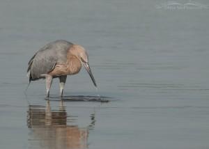 Fishing Reddish Egret