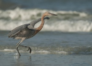 Reddish Egret chasing prey in the waves