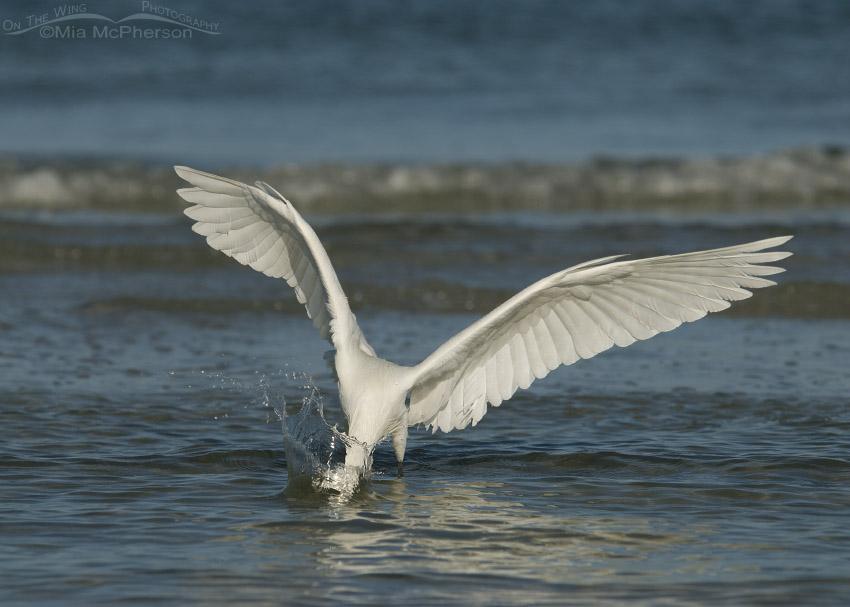 White morph Reddish Egret making a splash