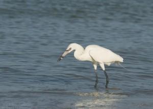 White Morph Reddish Egret with catch