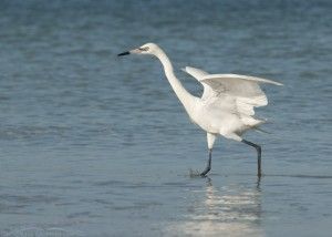 White Morph Reddish Egret on the hunt in the waves