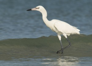 White Morph Reddish Egret hunting in the Gulf waves