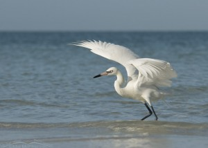White Morph Reddish Egret with wings spread
