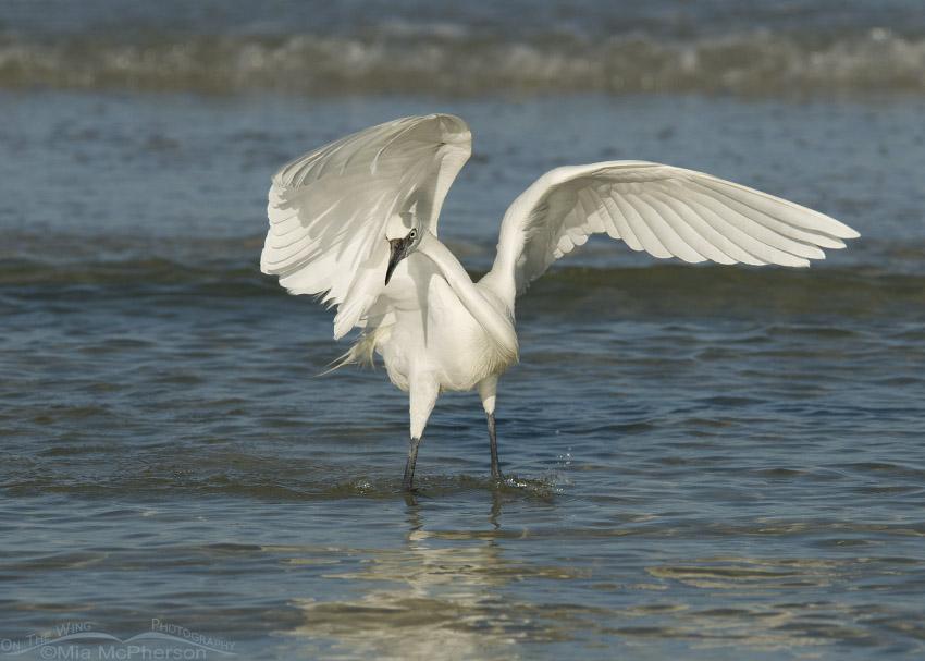White morph Reddish Egret hunting behavior
