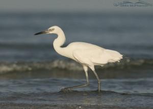 White morph Reddish Egret walking past at the edge of the Gulf