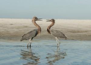 Fighting Reddish Egrets
