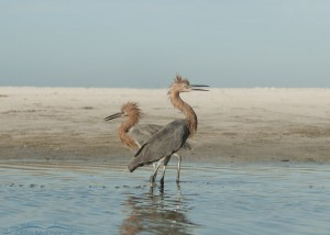 Agitated Reddish Egrets