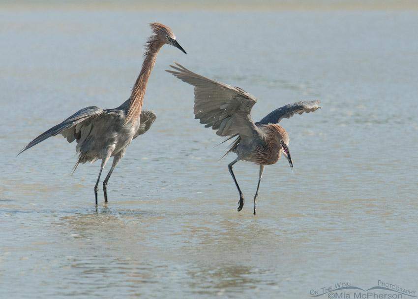 Reddish Egret food fight