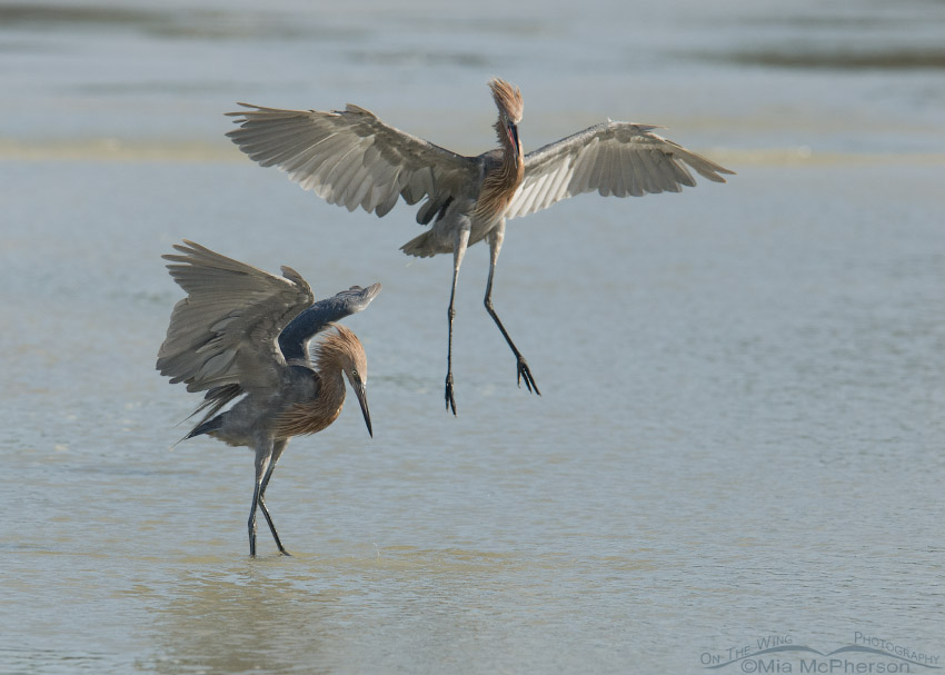 Pair of Reddish Egrets fighting over prey