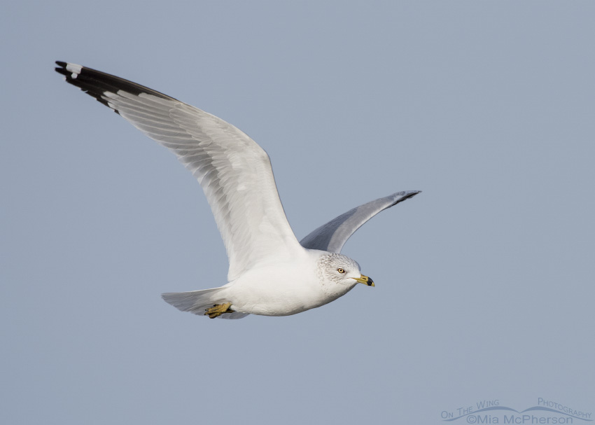 Adult Ring-billed Gull in flight on a January morning