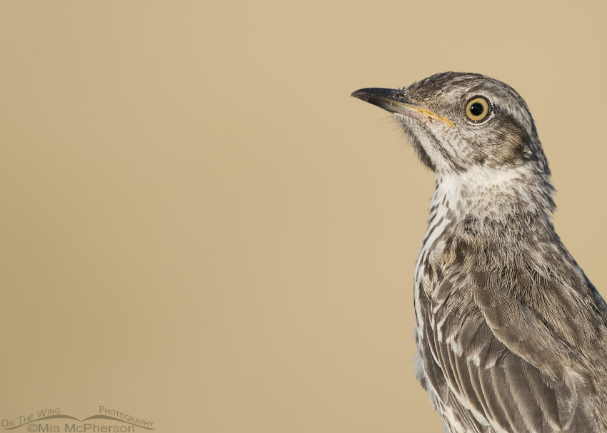 Immature Sage Thrasher Portrait