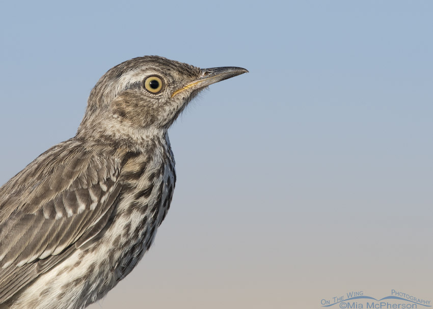 Sage Thrasher close up