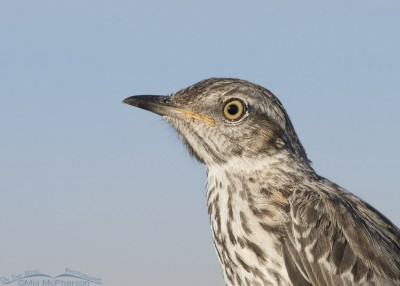 Sage Thrasher Portrait