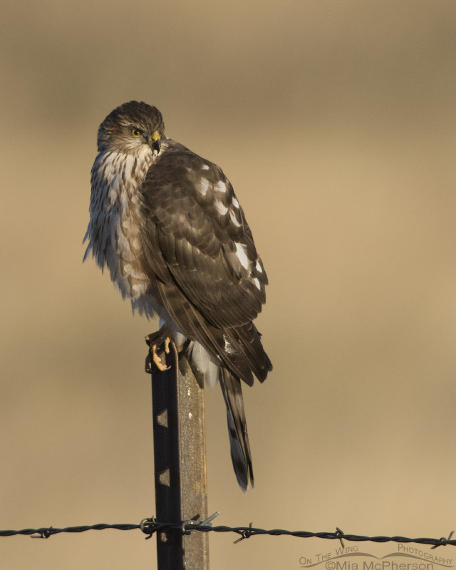 Immature Sharp-shinned Hawk perched on a metal post