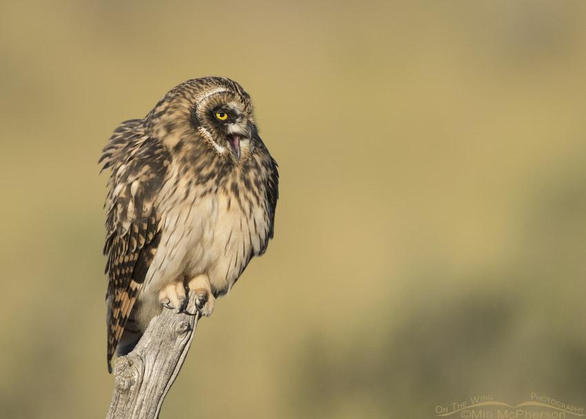 Fledgling Short-eared Owl calling
