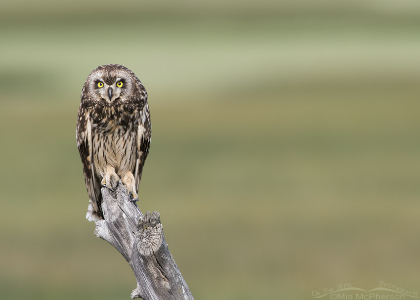 Female Short-eared Owl along a road in northern Utah