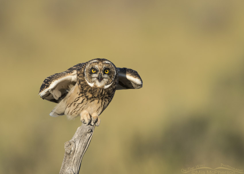Begging fledgling Short-eared Owl