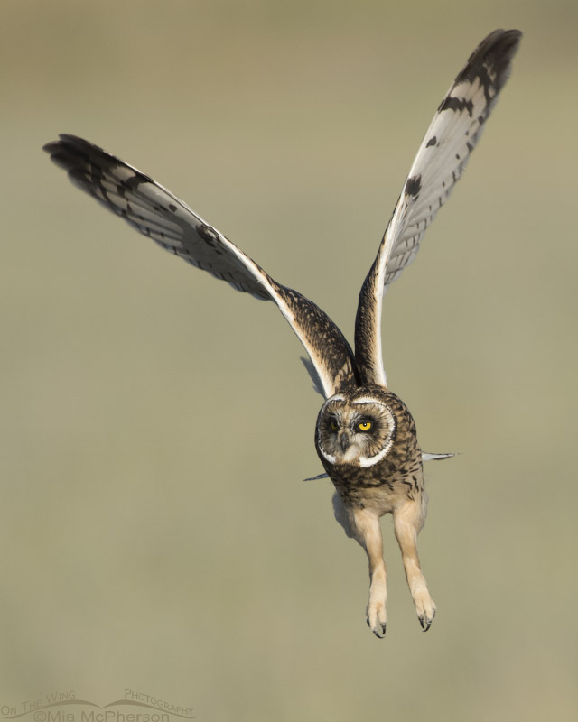 Juvenile Short-eared Owl lift off