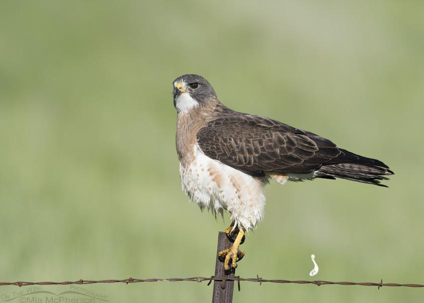 Adult Swainson's Hawk pooping
