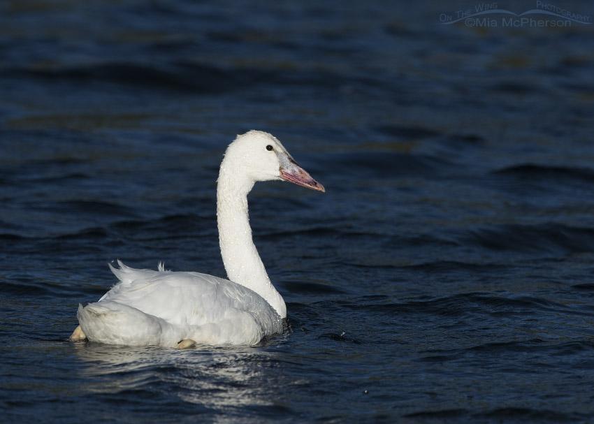 Trumpeter Swan cygnet in Montana