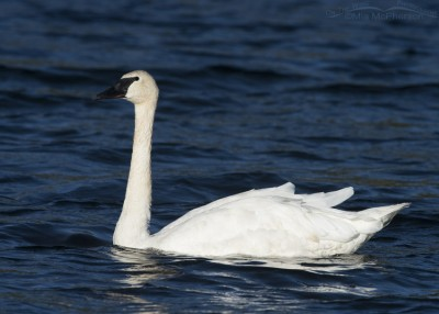 Centennial Valley Trumpeter Swan adult