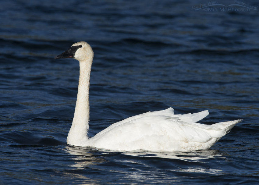 Centennial Valley Trumpeter Swan adult