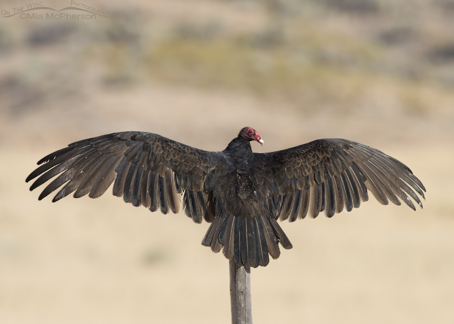 Turkey Vulture thermoregulating on a fence post