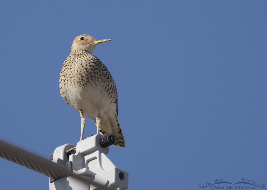 Upland Sandpiper in Box Elder County, Utah