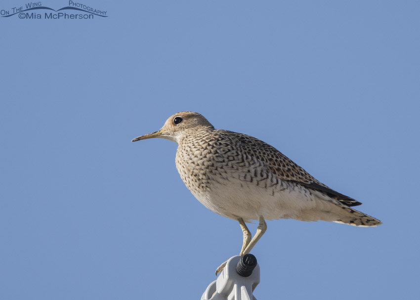Side view of Upland Sandpiper rarity in Utah