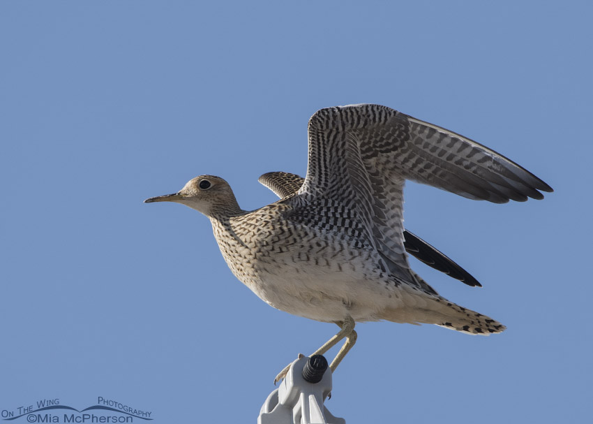 Upland Sandpiper with raised wings