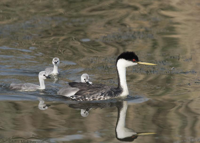 Western Grebe with three chicks