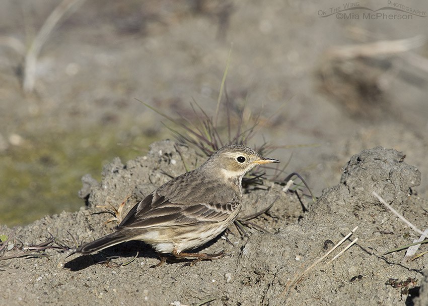 American Pipit in mud