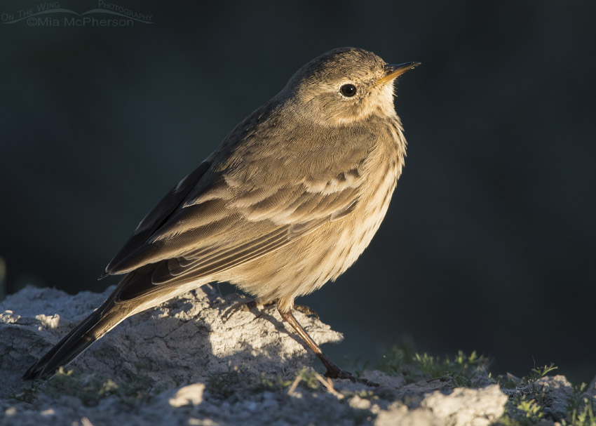 American Pipit at sunrise