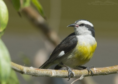 Perched Bananaquit