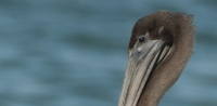 Portrait of a juvenile Brown Pelican