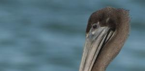 Portrait of a juvenile Brown Pelican