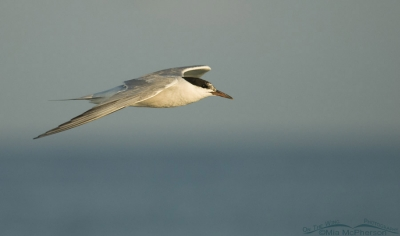 Common Tern flying over the Gulf of Mexico