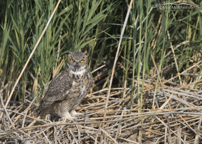 Great Horned Owl gular fluttering behavior