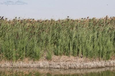 Great Horned Owl in a marsh