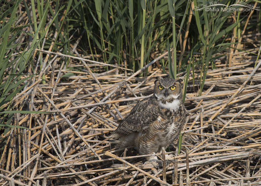 Great Horned Owl on a pile of phragmites
