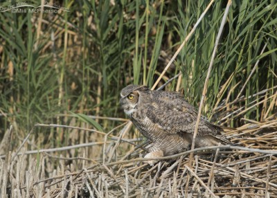 Great Horned Owl in the marsh at Bear River MBR