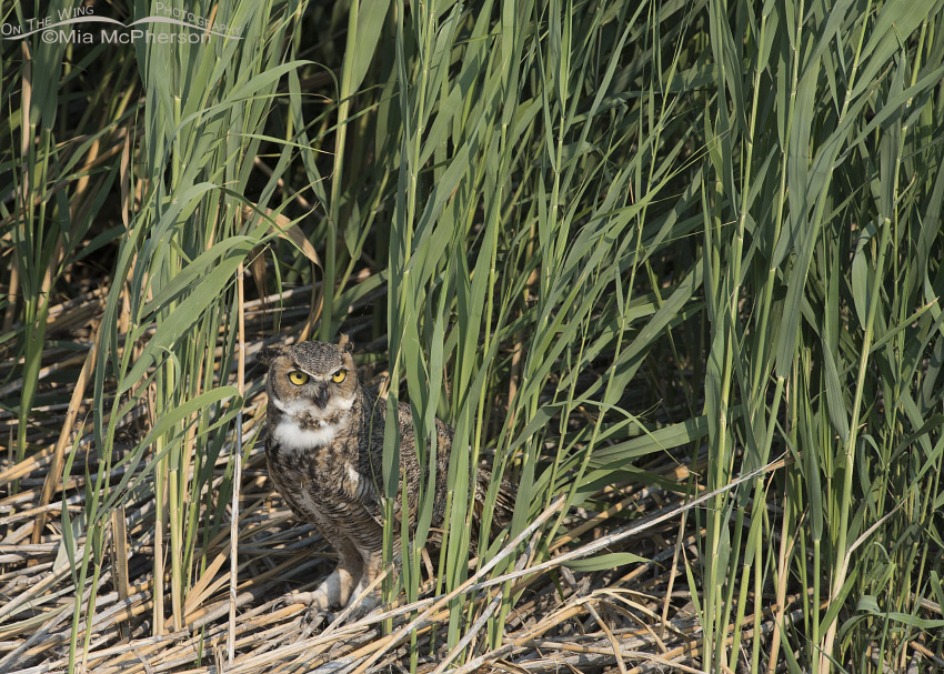 Bear River Marsh and a Great Horned Owl