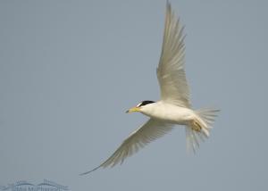 Adult Least Tern in flight
