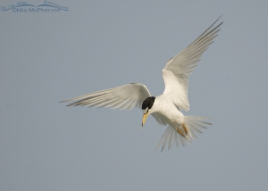 Hovering Least Tern adult