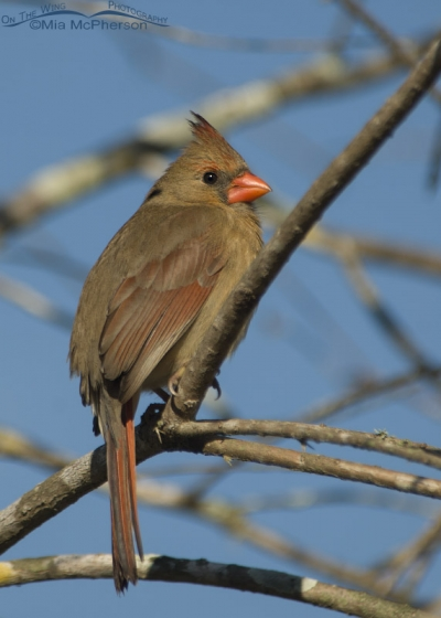 Female Northern Cardinal on Honeymoon Island