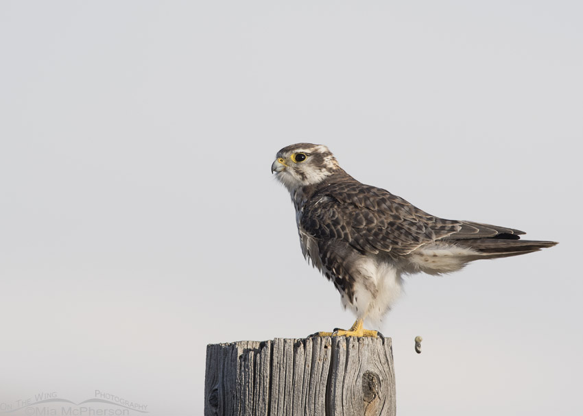 Defecating Prairie Falcon